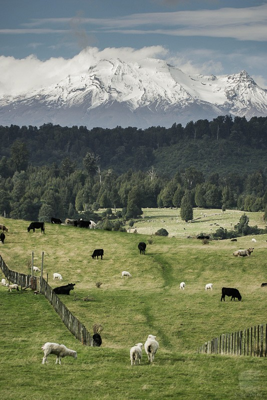 Ruapehu and sheeps
